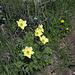 Schwefel-Anemonen