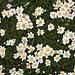 Dryas octopetala L. <br />Rosaceae