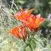 <b>Giglio rosso (Lilium bulbiferum).</b>