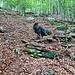 Bosco dell Erbi. Auf der Suche nach dem alten Weg zur Alp Tramossa. Das einzige Relikt einer Wegbaute welches im ganzen Aufstieg noch vorhanden ist.