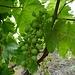 Auf der fruchtbaren Insel Salina wird hervorragender Wein hergestellt.