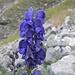Der hochgiftige Blaue Eisenhut (Aconitum napellus) mit dem Giftstoff/Heilstoff: Aconitin
