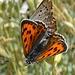 Paarungszeit bei den Schmetterlingen...