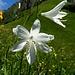 Trichterlilien auf dem Chlaggchopf