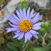 die Alpenaster - eine meiner liebsten Alpenblümelis