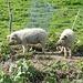 Wollschweine an der Bartholomäusalpe