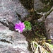 Rote Felsen-Primel (Primula hirsuta)