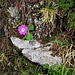 Primula Hirsuta All.<br />Primulaceae<br /><br />Primula irsuta.<br />Primevère à gorge blanche.<br />Rote Felsen-Primel, Behaarte Schlüsselblume.