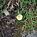 Ranunculus glacialis L.<br />Ranunculaceae<br /><br />Ranuncolo glaciale.<br />Renoncule des glaciers.<br />Gletscher-Hahnenfuss.