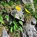 Doronicum clusii (All.) Tausch<br />Asteraceae<br /><br />Doronico del granito<br />Doronic calcifug<br />Clusius Gämswurz