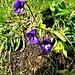 Pinguicula vulgaris L.<br />Lentibulariaceae<br /><br />Erba unta commune<br />Grassette commune<br />Gemeines Fettblatt, Gemeines Fettkraut<br /><br />