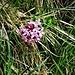 Daphne striata Tratt.<br />Thymelaceae<br /><br />Dafne rosea<br />Daphné strié<br />Gestreifter Seidelbast, Steinröschen