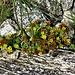 Sedum alpestre Vill.<br />Crassulaceae<br /><br />Borracina alpestre <br />Borin des Alpes<br />Alpen-Mauerpfeffer<br />