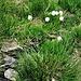 Eriophorum angustifolium Honck.<br />Cyperaceae<br /><br />Eriforo a foglie strette<br />Linaigrette à feuilles étroites<br />Schmallblättriges Wollgrass