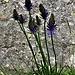 Phyteuma betoncifolium Vill.<br />Campanulaceae<br /><br />Raponzolo montano<br />Raiponce à feuille de bétoine<br />Betonienblättrige Rapunzel
