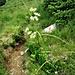 Luzulea nivea (L.) DC<br />Junicaceae<br /><br />Erba lucciola maggiore<br />Luzule blanc-de-neige<br />Schneeweisse Hainsimse