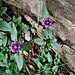 Prunella grandiflora (L.) Scholler<br />Lamiaceae<br /><br />Prunella delle Alpi<br />Brunelle à grandes fleurs<br />Grosse Brunelle