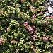 <b>Azalea alpina (Loiseleuria procumbens).</b>
