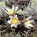 <b>Anemone pulsatilla (Pulsatilla vulgaris).</b>