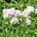 <b>Talittro a foglie di aquilegia (Thalictrum aquilegifolium).</b>