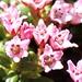 <b>Il fiore dell'Azalea delle Alpi o Azalea nana contiene 5 antere purpuree.</b>