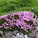 Blumenkissen mit Kalk-Polsternelke und Enziane