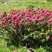 Immer wieder prächtig blühende Alpenrosen