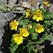 Blühende Nelkenwurz, deren Samenstände später ebenfalls unglaublich schön sind