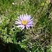 haben einmal gehört, dass dort, wo Alpenastern wachsen, auch Edelweiss zu Hause ist. Heute nicht
