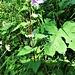 Campanula trachelium L.<br />Campanulaceae<br /><br />Campanula selvatica<br />Campanule gantelée<br />Nesselblättrige Glockenblume
