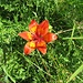 Lilium bulbiferum L.<br />Liliaceae<br /><br />Giglio rosso, Giglio di San Giovanni<br />Lis safrané<br />Feuerlilie