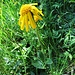 Arnica montana L.<br />Asteraceae<br /><br />Arnica.<br />Arnica.<br />Arnika.
