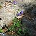 Phyteuma betoncifolium Vill.<br />Campanulaceae<br /><br />Raponzolo montano<br />Raiponce à feuilles de bétonie<br />Betonienblättrige Rapunzel