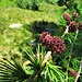 Larix decidua Mill.<br />Pinaceae<br /><br />Larice comune<br />Mélèze d'Europe<br />Europäische Lärche