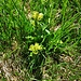 Gentiana punctata L.<br />Gentianaceae<br /><br />Genziana punteggiata<br />Gentiane ponctuée<br />Getüpfelter Enzian