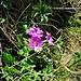 Primula hirsuta All.<br />Primulaceae<br /><br />Primula irsuta<br />Primevère à gorge blanche<br />Rote Felsen-Primel, Beeharte Schlüsselblume<br />