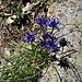 Phyteuma hemisphericum L.<br />Campanulaceae<br /><br />Raponzolo alpino<br />Raiponce hémisphérique<br />Halbkugelige Rapunzel,Halbkugelige Teufelkralle