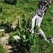 Veratrum album L.<br />Melianthaceae<br /><br />Veratro bianco<br />Veratre commun<br />Gemeiner Gerner<br />
