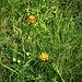 Crepis aurea (L.) Cass.<br />Asteracea<br /><br />Radichiella aranciata<br />Crépide orangée<br />Gold-Pippau<br />