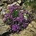 Thymus serpillum aggr.<br />Lamiaceae<br /><br />Timo comune<br />Thym serpolet<br />Feld-Thymian, Quendel, Chölm