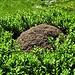 Un formicaio di Rufus circondato dal verde.