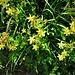 Hypericum perforatum L.<br />Hypericaceae<br /><br />Cacciadiavoli<br />Millepertuis perforé<br />Echtes Johanniskraut