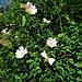 Rosa canina L.<br />Rosaceae<br /><br />Rosa canina<br />Eglantier, Rosier des chiens<br />Hunds-Rose<br />