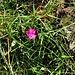 Dianthus carthusianorum L.<br />Caryophillaceae<br /><br />Garofano dei Certosini<br />Oeillet des Chartreux<br />Kartäuser-Nelke <br />