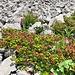 Alpenrosen am Wegrand.