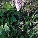 Dactylorhiza maculata (L.) Soo<br />Orchidaceae<br /><br />Orchide macchiata<br />Orchis tacheté<br />Gefleckte Fingerwurz
