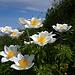 Alpen-Anemonen am Stauberenfirst