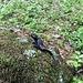 Salamander mitenander!