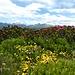 ... durchstreifen wir üppige Alpenrosenfelder