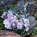herrliche Alpenblumen im Gletschervorfeld 2